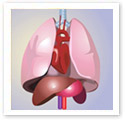 Human Organs : Medical Illustration